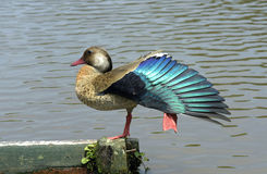 Brasilianische Ente oder brasilianische Knickente Stockfotos