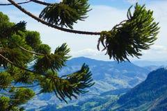 Brasilianische Kiefer lizenzfreies stockfoto