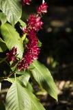 Brasilianische rote Mantel-Blume Lizenzfreies Stockfoto
