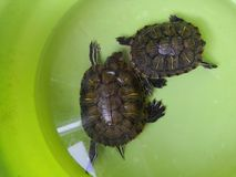 Brasilianische Schildkröte merkwürdigen Schlafens stockbilder