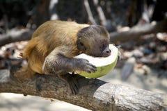 Brasilianischer Affe, der frische Kokosnuss isst Stockbild