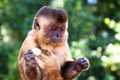 Brasilianischer Affe und Banane Lizenzfreies Stockfoto