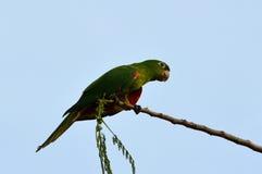 Brasilianischer grüner Vogel u. x28; Pionus& x29; auf einer Niederlassung Stockbilder