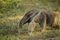 Brasilianischer Großer Ameisenbär, der Ameisen isst Lizenzfreies Stockfoto