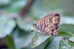 Brasilianischer Schmetterling anvisiert im atlantischen Regenwald Stockfotos