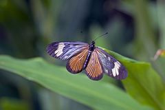 Brasilianischer Schmetterling im Rest des atlantischen Regenwaldes Stockbilder
