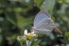 Brasilianischer weißer Schmetterling anvisiert im atlantischen Regenwald Stockfotos
