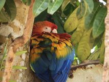 "Brasilianisches Vogel ""arara† lizenzfreie stockfotos"