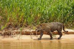 Brasiliano Pantanal - Jaguar fotografie stock libere da diritti