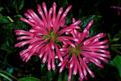Brasiliano Plume Flower fotografia stock