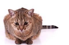 Brasiliansk katt för kort hår på vit bakgrund royaltyfri fotografi