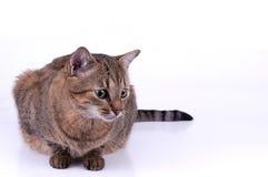 Brasiliansk katt för kort hår på vit bakgrund fotografering för bildbyråer