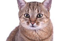 Brasiliansk katt för kort hår på vit bakgrund royaltyfria foton
