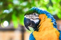 brasiliansk macaw Royaltyfri Foto
