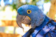 brasiliansk macaw Arkivfoton