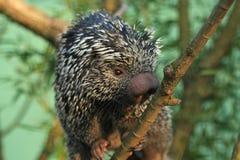 Brasiliansk porcupine Royaltyfri Bild