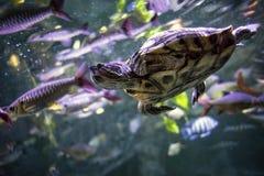 Brasiliansk sköldpadda Arkivfoton