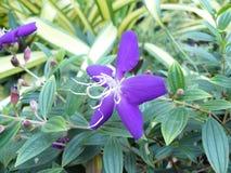 Brasiliansk spindelblomma Royaltyfria Bilder