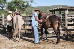 Brasilianska cowboyer förbereder mulor Arkivbild
