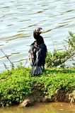 Brasilianus Phalacrocorax - βραζιλιάνο μαύρο πουλί Στοκ φωτογραφία με δικαίωμα ελεύθερης χρήσης