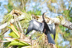 Brasilianus Phalacrocorax, ο κορμοράνος Neotropic που βρίσκεται στο νέγρο Caño, Κόστα Ρίκα Στοκ εικόνες με δικαίωμα ελεύθερης χρήσης