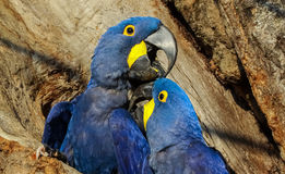Brasilien, Hyacinth macaw in the Panta Stock Photos