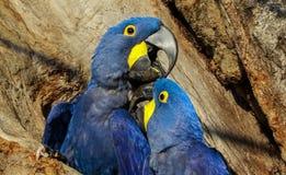 Brasilien, macaw del jacinto en el Panta Fotos de archivo