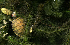 Brasilien sköldpadda- och gräsbakgrund Arkivbild