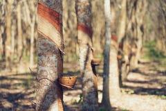 Brasiliensis гевеи резинового дерева производит латекс Путем использование отрезка ножа на наружной поверхности хобота Латекс как стоковые фотографии rf