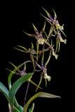 Brassia da orquídea isolado no fundo preto Fotos de Stock Royalty Free