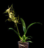Brassia maculata Stock Image