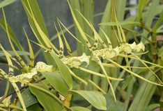 Brassia Rex Orchid Royalty Free Stock Photos