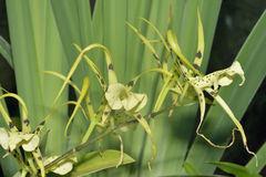 Brassia Rex Orchid Royalty Free Stock Image