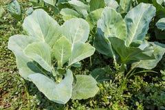 Brassica alboglabra. Stock Photo