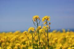Brassica Campestris imagens de stock