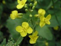 Brassica campestris field mustard, bird rape, keblock, and colz Stock Photo