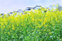brassica campestris flowers Royalty Free Stock Photos
