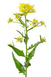 Brassica campestris kwiat Zdjęcia Royalty Free