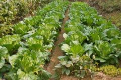 Brassica chinensis Immagine Stock Libera da Diritti