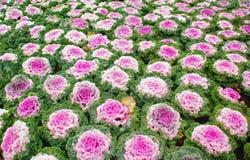 Brassica decorativo Foto de Stock