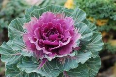 Brassica för blomma för kål för purpurfärgad kålblomma dekorativ dekorativ eller grönkålblomma över svart bakgrund med kopierings arkivbilder