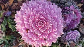 Brassica Flower cabbage Stock Photo