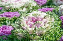 Brassica Hybrid flower. Close up stock photo