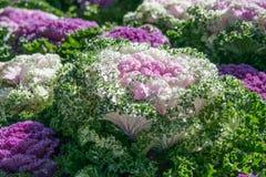 Brassica Hybrid flower Stock Image