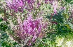 Brassica Hybrid flower Royalty Free Stock Image