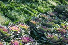 Brassica Hybrid flower. Close up stock image