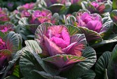 brassica kale ornamental Obrazy Royalty Free