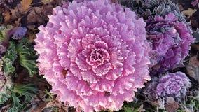 Brassica kwiatu kapusta Zdjęcie Stock