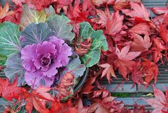 Brassica and maple leaves Royalty Free Stock Image