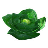 Brassica Stock Photography